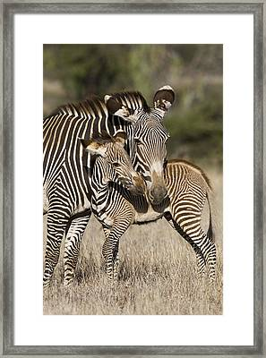 Grevys Zebra And Young Foal Lewa Framed Print