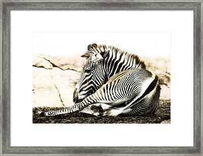 Grevy's Zebra Framed Print by Bill Tiepelman