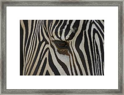 Grevys Zebra Equus Grevyi Close Framed Print by Zssd