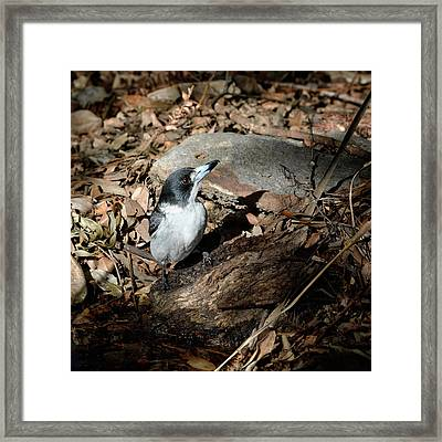 Framed Print featuring the photograph Grey Butcherbird by Nicholas Blackwell