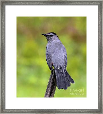 Framed Print featuring the photograph Grey Catbird by Debbie Stahre