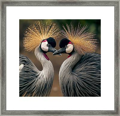 Grey Crowned Cranes Of Africa Framed Print