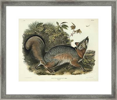 Grey Fox Framed Print by John James Audubon