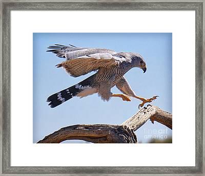 Grey Hawk Alights Framed Print