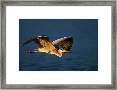 Grey Heron In Flight Framed Print by Johan Swanepoel