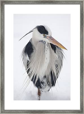 Grey Heron In The Snow Framed Print