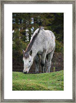 Grey Horse Framed Print