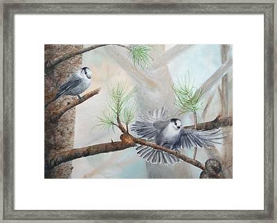 Grey Jays In A Jack Pine Framed Print