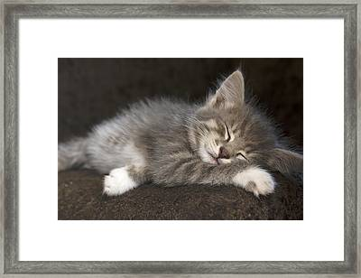 Grey Kitten With White Paws Sleeping Sweetly.  Framed Print