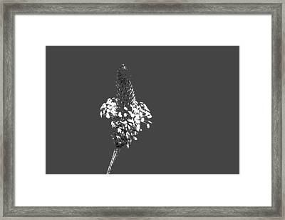 Grey Plaintain Framed Print