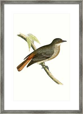 Grey Redstart Framed Print by English School