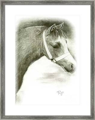 Grey Welsh Pony  Framed Print