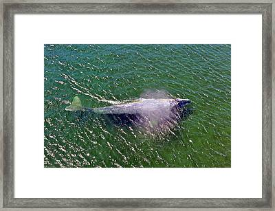 Grey Whale Framed Print