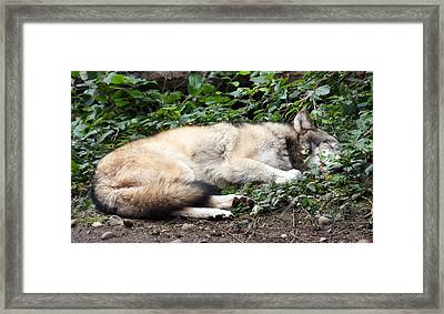 Grey Wolf - 0008 Framed Print