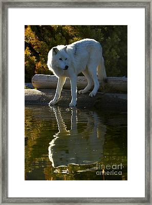 Grey Wolf By The Lake Framed Print