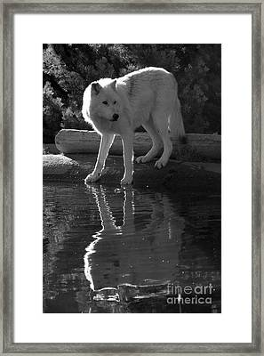 Grey Wolf By The Lake - Black And White Framed Print