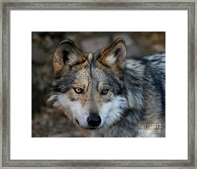 Grey Wolf Framed Print