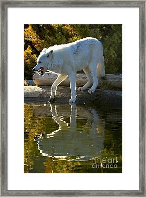 Grey Wolf Reflections Framed Print