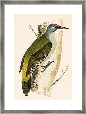 Grey Woodpecker Framed Print by English School