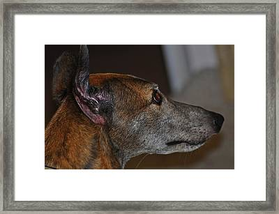 Greyhound Framed Print by Peter  McIntosh