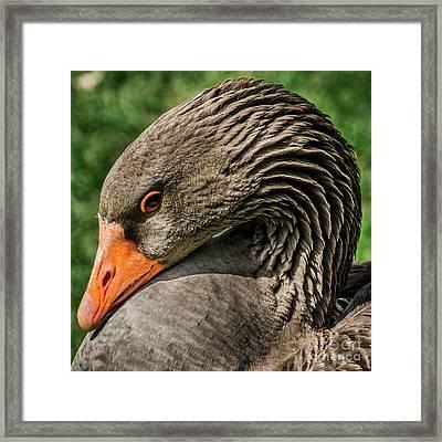 Greylag Goose Portrait  Framed Print by Gary Whitton