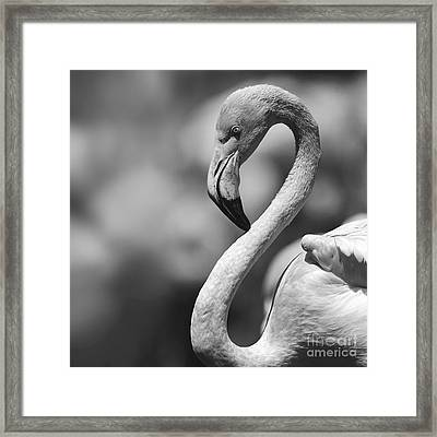 Greyscale Of A Tickled Pink Flamingo Framed Print