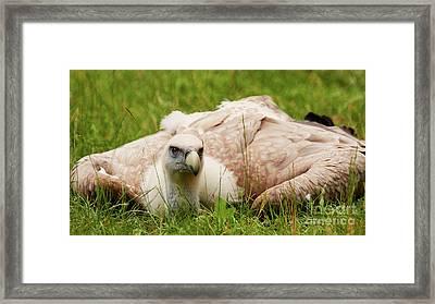 Griffon Vulture Framed Print