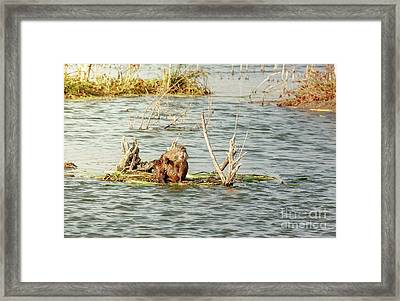 Framed Print featuring the photograph Grinning Nutria On Reeds by Robert Frederick