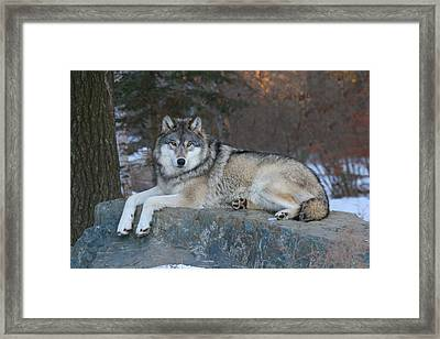 Grizzer Intelligence Personified Framed Print by Gerry Sibell