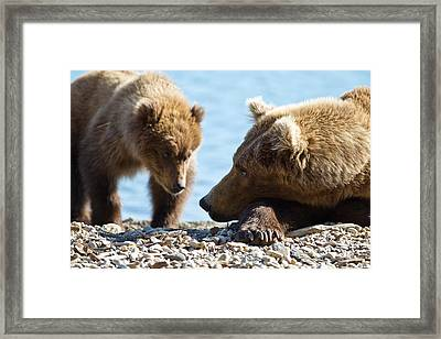 Grizzly And Cub Framed Print by Brandon Broderick