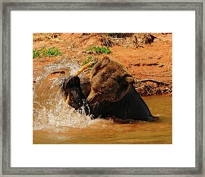 Grizzly At Play Framed Print by Dennis Hammer