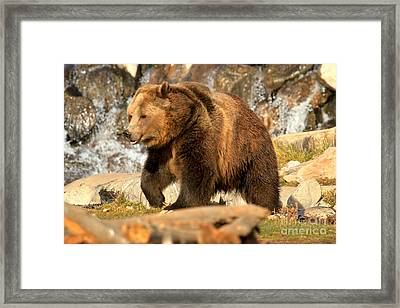 Grizzly At The Falls Framed Print