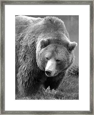 Grizzly Bear And Black And White Framed Print by Tiffany Vest