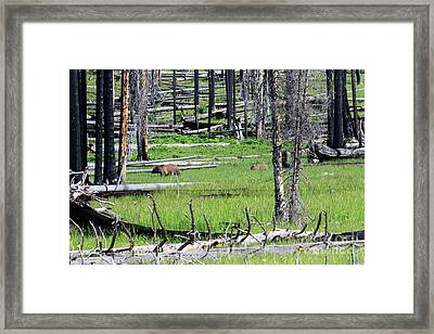 Grizzly Bear And Cub Cross An Area Of Regenerating Forest Fire Framed Print by Louise Heusinkveld