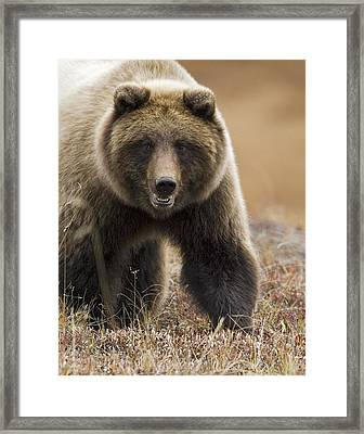 Grizzly Bear- Eye To Eye Framed Print by Tim Grams