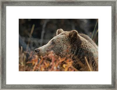 Grizzly Bear Portrait In Fall Framed Print