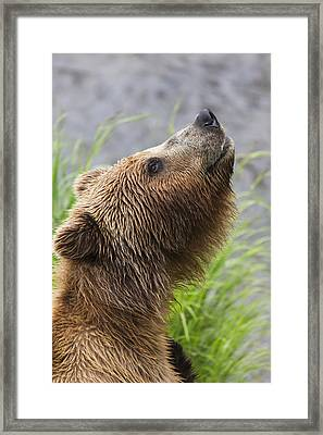 Grizzly Bear Sniffing Air While Fishing Framed Print by Lucas Payne