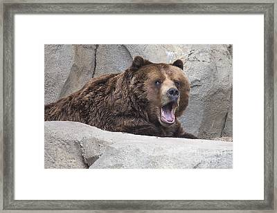 Grizzly Bear Framed Print by Twenty Two North Photography