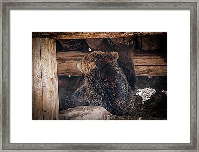Grizzly Bear Under The Cabin Framed Print by Dan Pearce