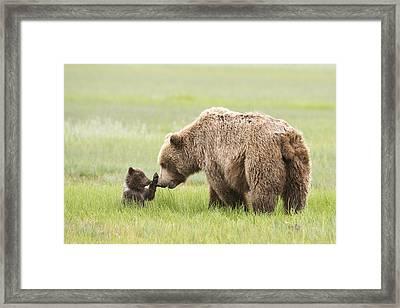 Grizzly Bear _ursus Arctos Horribilis_ Framed Print