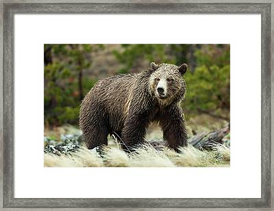 Framed Print featuring the photograph Grizzly Bear by Wesley Aston