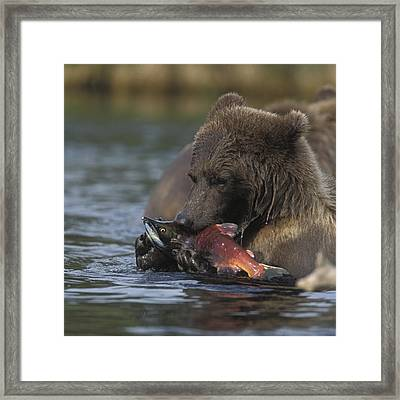 Grizzly Bear With A Salmon Framed Print by Tim Grams