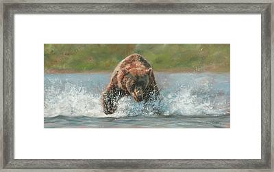Grizzly Charge Framed Print by David Stribbling