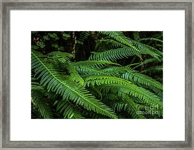 Grizzly Creek Redwoods Ferns Framed Print by Blake Webster
