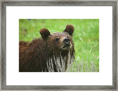 Framed Print featuring the photograph Grizzly Cub by Steve Stuller
