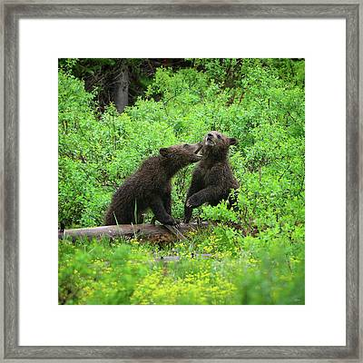 Grizzly Cubs Framed Print