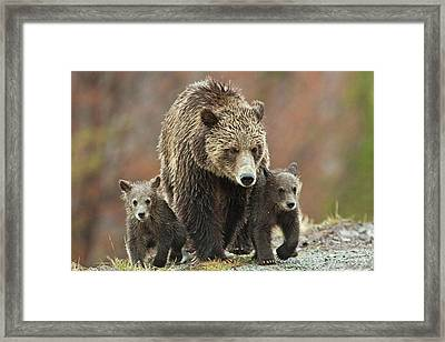Framed Print featuring the photograph Grizzly Family by Wesley Aston