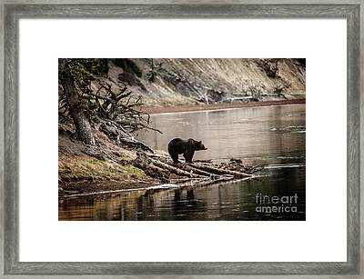 Grizzly In Yellowstone Framed Print