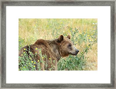 Grizzly Framed Print by Laurianna Taylor
