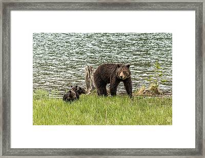 Framed Print featuring the photograph Grizzly Mom And Cubs by Yeates Photography